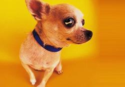 Köpek belediye başkanı oldu