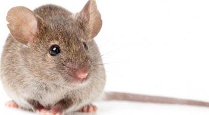 Yıllardır zehirlediği halde insanlar fareleri neden bitiremedi