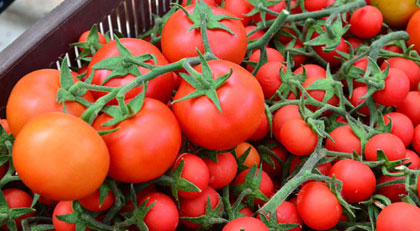 Türk domatesini imha ettiler