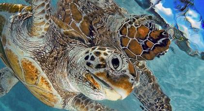 Caretta carettaların yaşam alanı olan ada için kampanya
