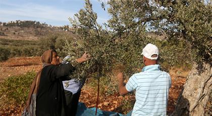 İsrail'de zeytin ağaçları kesildi