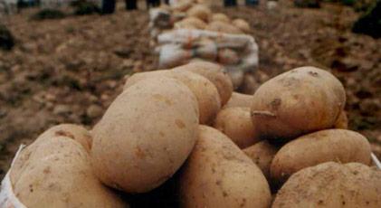 Patatese vergi sürprizi