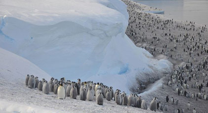 Binlerce yavru penguen boğuldu