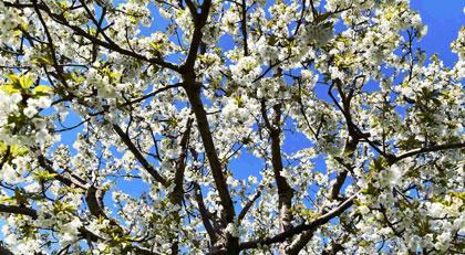 Japonların kutsal çiçekleri yanıbaşımızda