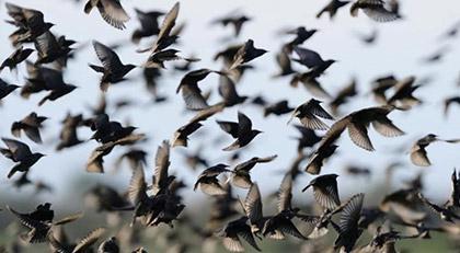 Veterinerler uyardı: Ölü kuşlara sakın dokunmayın
