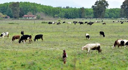 O kritik yerde şimdi inekler otluyor