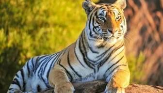 Kaplan, Şili Safari Parkı'nda çalışan kadını öldürdü