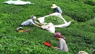 Çay üreticilerinden özel sektör isyanı